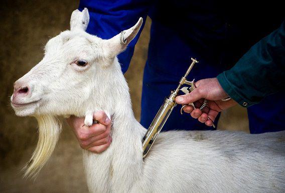 Een geit bij een boerderij in het Groningse Sellingen krijgt een inenting tegen de Q-koorts. Deze veehouderij was nog vrij van de bacterie die de ziekte kan veroorzaken.