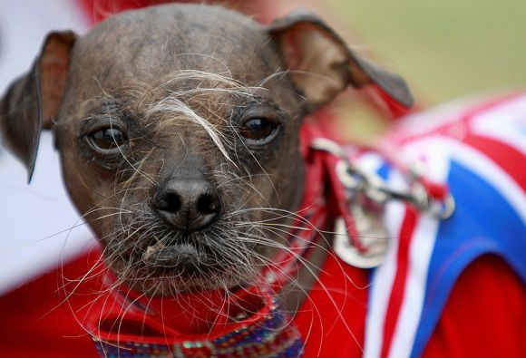"""Caption: Suzanne Marta holds up her Chinese crested dog, Handsome Hector,Mugly, a Chinese crested dog, owned by Bev Nicholson of Peterborough, England won the title of """"World's Ugliest Dog"""" at the Sonoma-Marin Fair in Petaluma, California, on Friday, June 22, 2012. (AP Photo/The Press Democrat, Beth Schlanker)"""