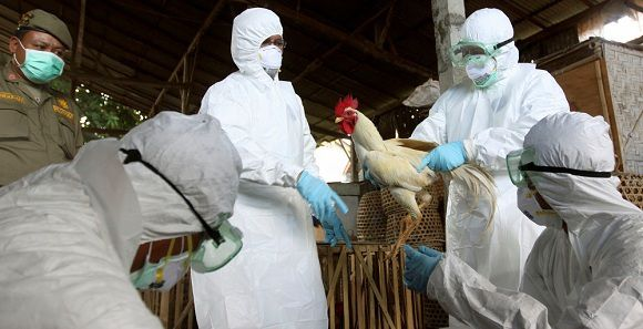 Caption: FILE - In this Thursday, April 26, 2012 file photo, Balinese government officials prepare to cull chickens as a precautionary measure to prevent the spread of bird flu, at a market in Denpasar, Bali, Indonesia after an 8-year-old boy died from bird flu. The virus rarely infects people, but scientists are worried it could mutate and spread more easily. On Wednesday, May 2, 2012, a scientific journal published a study showing how scientists created their own lab-made bird flu virus. The experiment was an effort to figure out how to thwart a global epidemic. (AP Photo/Firdia Lisnawati)