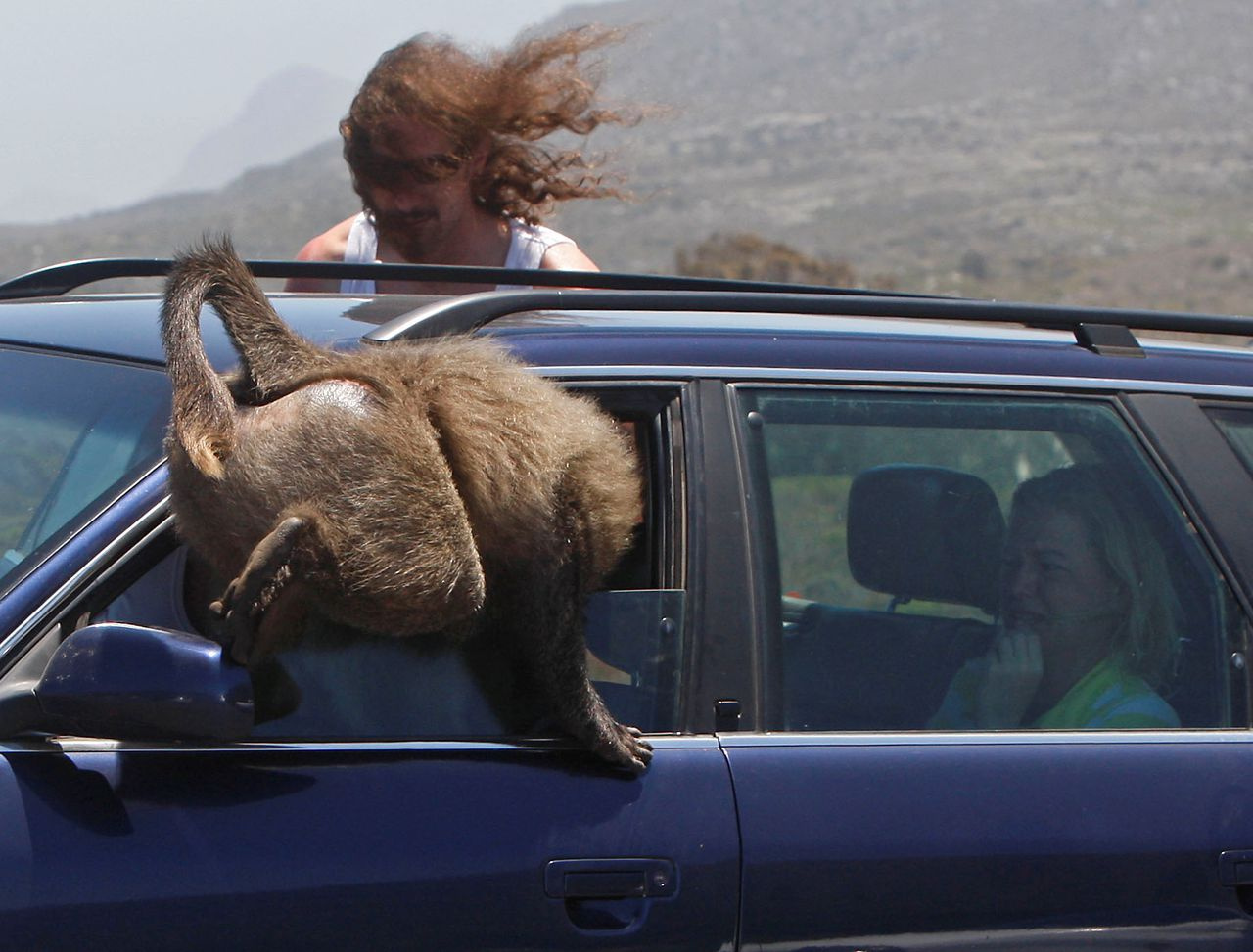 A baboon seen as it climbs inside a car at Cape Point on the outskirts of Cape Town, South Africa, Tuesday, Nov. 24, 2009. Visitors heading to South Africa premier holiday destination during the 2010 World Cup maybe worried about becoming victims of the country's high crime rate but they are more likely to find themselves robbed or mugged by a rather furry kind of felon: baboons. (Photo/Schalk van Zuydam)