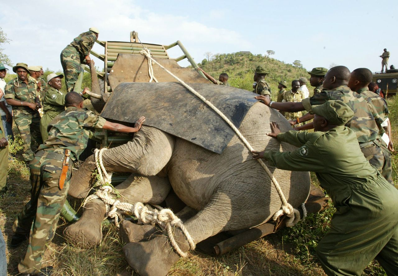 Olifanten in Kenia bij de Kilimanjaro en bij een verhuizing . Foto's AP Kenya Wildlife personnal load a 22-year-old elephant on a trailer after it was tranquilized in Simba Hills, Kenya Thursday, Aug.25, 2005. The Kenya Wildlife Service started relocating 400 elephants to Kenya's largest national park, from a smaller national reserve in southeastern Kenya that has too many elephants,. The US$3.2 million (Euro 2.6 million) exercise began Thursday and involve transporting elephants over 350 kilometers (218 miles) to the northern part of Tsavo East National Park, from Shimba Hills National Reserve. With a current elephant population of 600, the National Reserve is choking - he elephants destroy the habitat, break fences, and cause mayhem and destruction in villages surrounding the park. (AP Photo/Sayyid Azim)