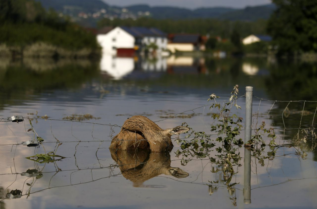 A dead deer hangs on a fence along the flooded A3 motorway near Deggendorf June 8, 2013. Tens of thousands of Germans, Hungarians and Czechs were evacuated from their homes on Wednesday as soldiers raced to pile up sandbags to hold back rising waters in the region's worst floods in a decade. REUTERS/Wolfgang Rattay (GERMANY - Tags: ENVIRONMENT DISASTER ANIMALS TPX IMAGES OF THE DAY)