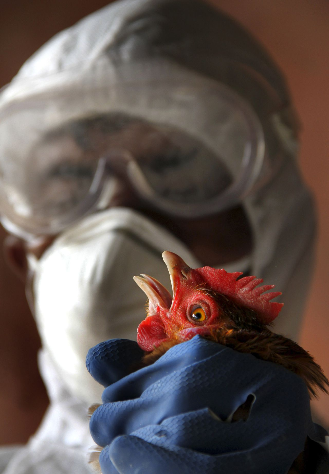 A Health Department official wearing protective gear culls a bird at a poultry farm after bird flu virus was detected, in Lembucherra area near Agartala, India, Friday, Jan. 27, 2012. More than 2,000 birds were culled in Agartala in the north eastern Indian state of Tripura after reports of deaths of poultry birds in the area, blood samples were collected examined and H5 strain of avian influenza virus was found, according to the local agency Press trust of India. (AP Photo/Sushanta Das)