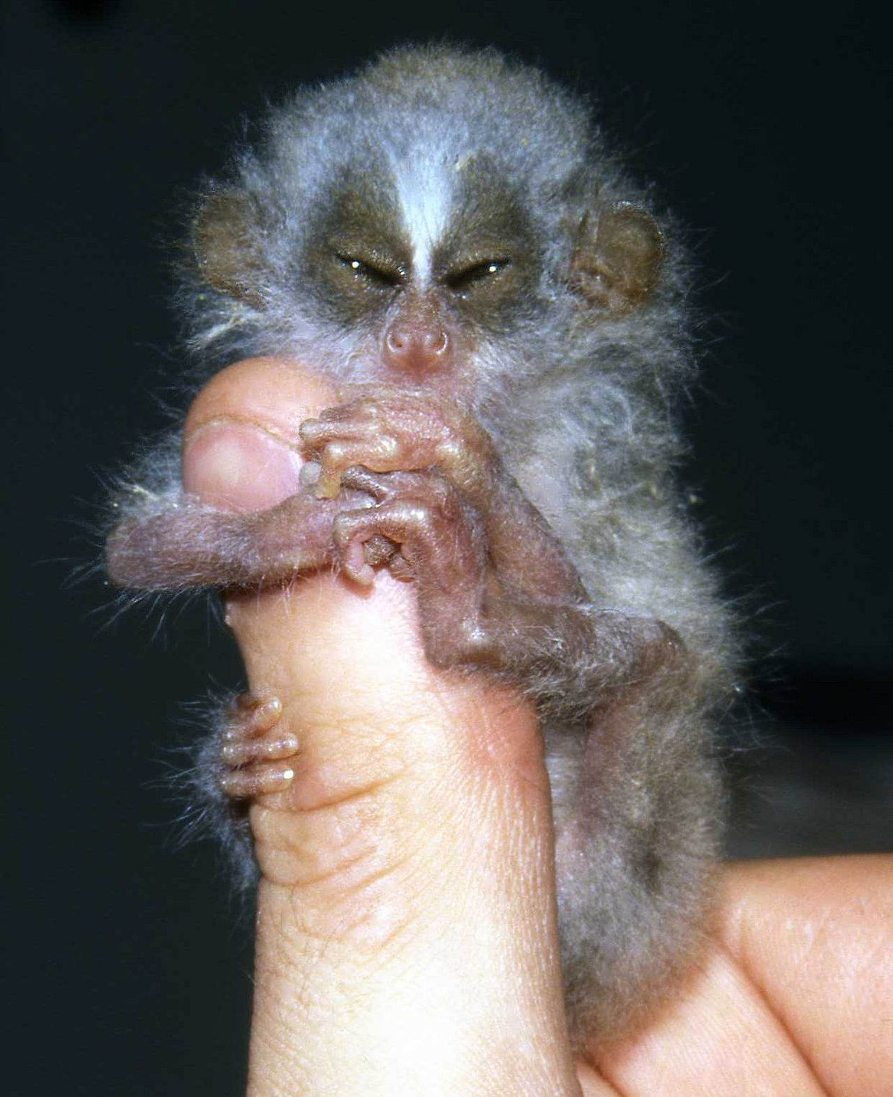 Slanke lori-jong Foto Reuters PICTURE EMBARGOED 0001GMT UNTIL JANUARY 16, 2007. A baby Slender Loris is seen in this undated handout image released by the Zoological Society of London on January 15, 2007. Scientists launched a bid on Tuesday to save some of the world's rarest and most neglected creatures from extinction. With an initial list of just 10, including a venomous shrew-like creature, an egg-laying mammal and the world's smallest bat, the programme will give last ditch conservation aid where to date there has been little or none. FOR EDITORIAL USE ONLY NO ARCHIVES NO SALES NOT FOR SALE FOR MARKETING OR ADVERTISING CAMPAIGNS TEMPLATE OUT REUTERS/Zoological Society of London/Handout (BRITAIN)