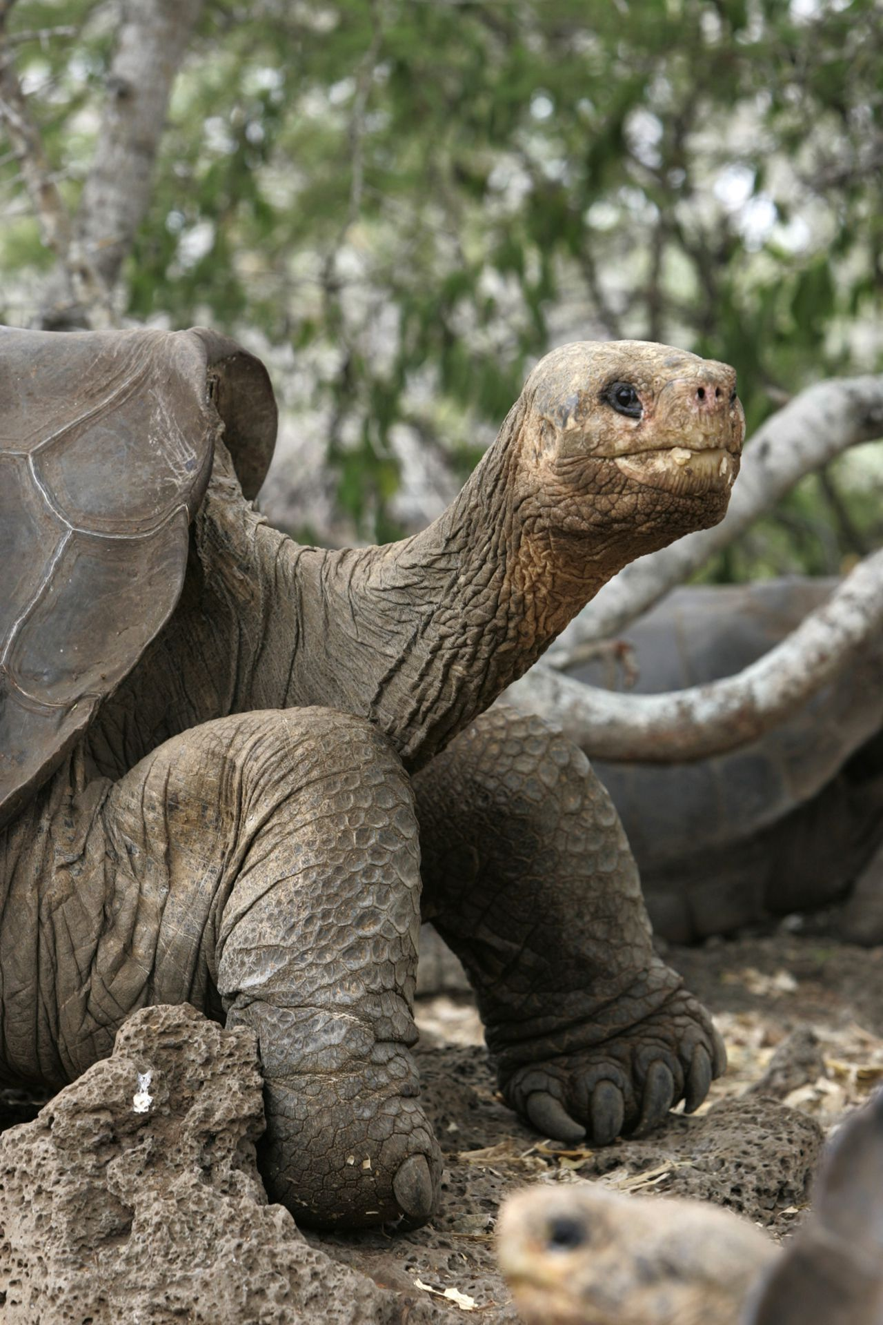 """FOTO REUTERS George the giant tortoise is seen at the national park on the Galapagos islands in this April 29, 2007 file photo. While scientists search for a mate for """"Lonesome George"""" -- the last known survivor of a species of Galapagos tortoise -- some say the effort to fend off extinction may be in vain. Even if a mate is found, George has not been interested in reproducing in the past and may not know how, former keepers and others who have worked with him said. To match feature TORTOISE-GEORGE/ REUTERS/Guillermo Granja/Files (ECUADOR)"""