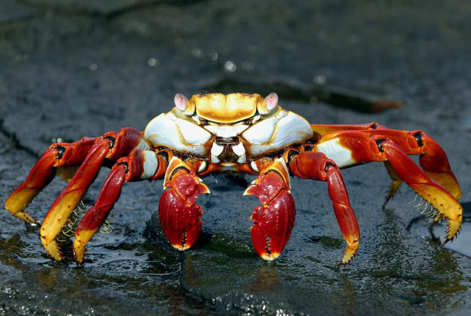 A crab is seen on the Galapagos Islands in September, 2005. The Galapagos are the Nature Channel live. Today, 97 percent of its 13 islands, 42 islets and innumerable rock formations have been declared a national park, limiting fishing to certain areas and quotas (still, 100,000 people visited last year alone). Here a lucky diver undeterred by cold waters and strong currents can enjoy a once-in a lifetime chance for a tete-a-tete with sharks and 150-year-old turtles the size of coffee tables. Photographer: Bob Hayes via Bloomberg News