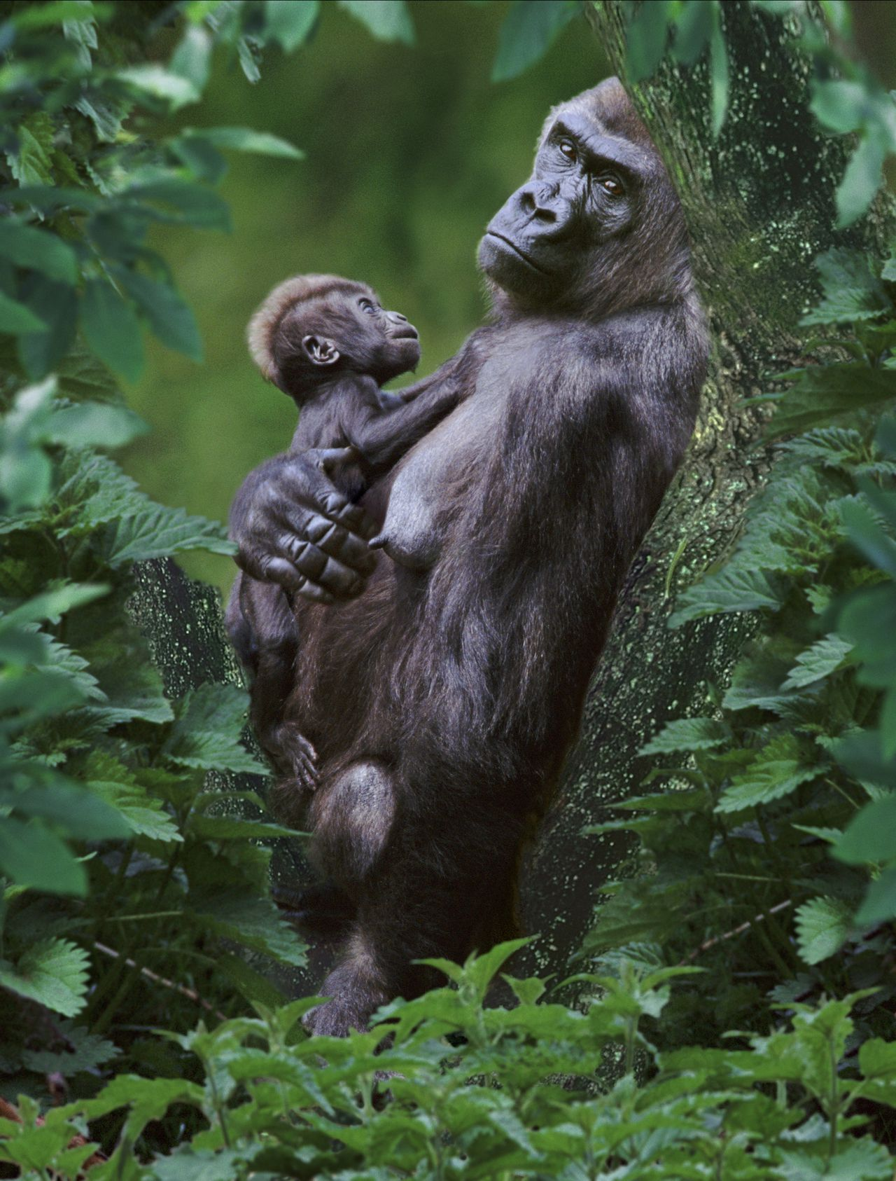 scene uit de documentaire One Life (2011) FOTO: Dutch FilmWorks A12465 Lowland gorilla mother and baby