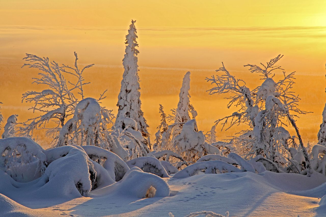 Programme Name: Frozen Planet - TX: 26/10/2011 - Episode: Frozen Planet 1 The Ends of the Earth (No. 1) - Embargoed for publication until: 18/10/2011 - Picture Shows: Frozen taiga forest in magical light, Finland. The Taiga is the greatest forest on Earth, containing at least a third of all the world's trees. The vast stretches of forest are restricted to one or two species of tree, usually conifer. Life is scarce in these forests as conifer needles are hard to digest. Some of the trees can be loaded with as much as three tonnes of snow. This is why conifers tend to be cone shaped with sloping sides to encourage the snow to slide off. - (C) Fredi Devas - Photographer: Fredi Devas