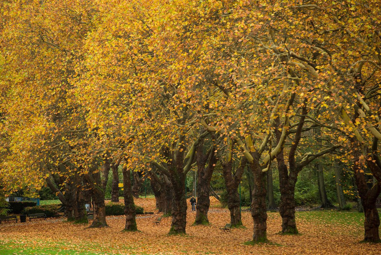 A man is framed by brightly colored fall foliage and fallen leaves while walking through Stanley Park in Vancouver, British Columbia, on Thursday Nov. 6, 2014. (AP Photo/The Canadian Press, Darryl Dyck)