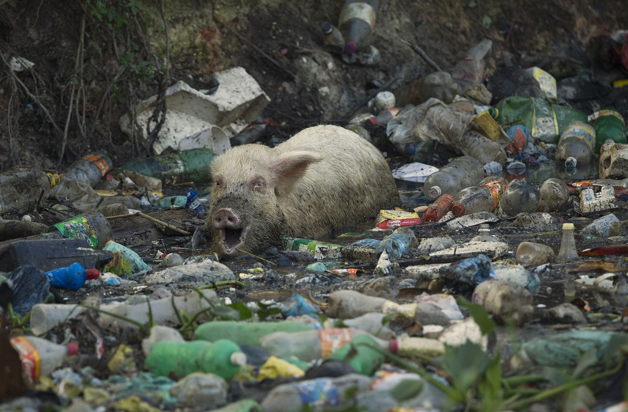 In this photo taken on Friday, June 15, 2012, a pig eats from a trash-ridden creek that runs towards the conference center where the United Nations Conference on Sustainable Development, or Rio+20, takes place in Rio de Janeiro, Brazil. The throngs streaming into Rio for the Earth summit may be dreaming of white-sand beaches and clear, blue waters, but what they are first likely to notice as they leave the airport is not the salty tang of ocean in the breeze, but the stench of raw sewage. (AP Photo/Victor R. Caivano)