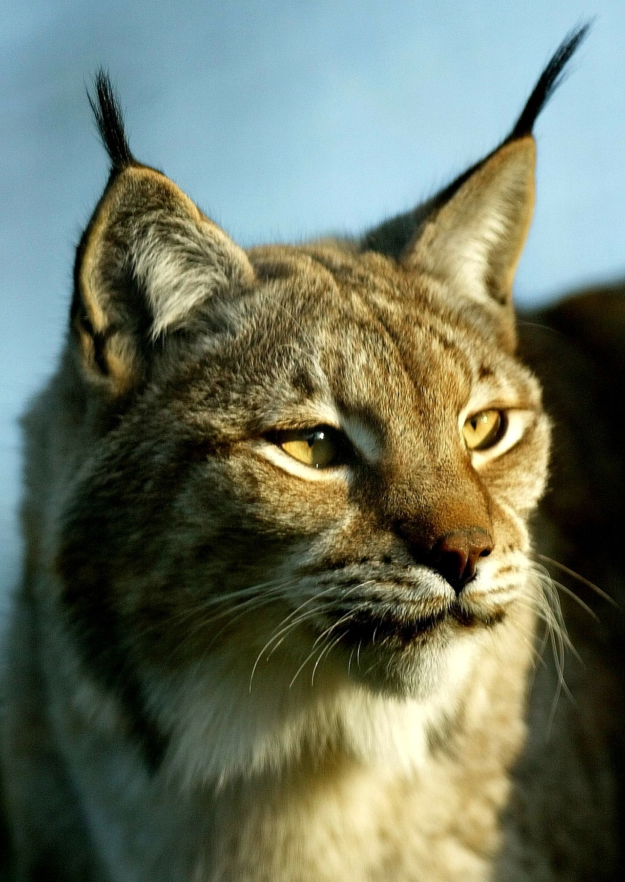 Lynx foto Reuters A lynx looks from his cage at the Santillana del Mar's Zoo in northern Spain, March 12, 2005. With only around 100 lynxes left in southern Spain, the animal could soon be the first big cat species to become extinct since the sabre-toothed tiger disappeared 10,000 years ago, the WWF said.