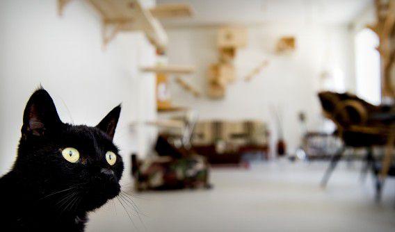 Een kat in cafe Kopjes, het eerste kattencafe van Nederland. Zaterdag zendt de NTR het laatste deel uit van een serie over de verborgen levens van katten.