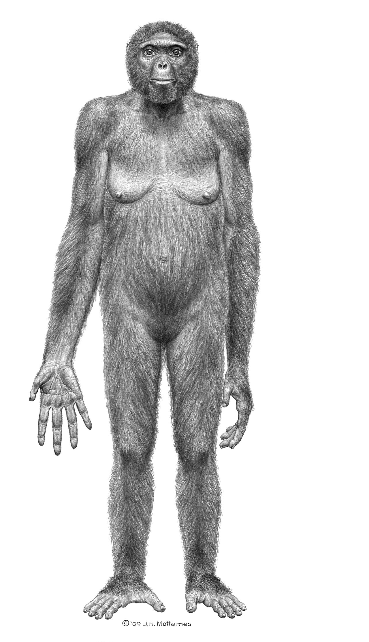 """This image released October 1, 2009 by """"Science"""" shows the probable life appearance in anterior view of Ardipithecuss ramidus(""""Ardi""""). In a special issue of Science, an international team of scientists has for the first time thoroughly described Ardipithecus ramidus, a hominid species that lived 4.4 million years ago in what is now Ethiopia. This research, in the form of 11 detailed papers and more general summaries, will appear in the journal?s October 2, 2009 issue. AFP PHOTO/HO/SCIENCE/J.H. Mattemes = RESTRICTED TO EDITORIAL USE = No ARCHIVES ="""