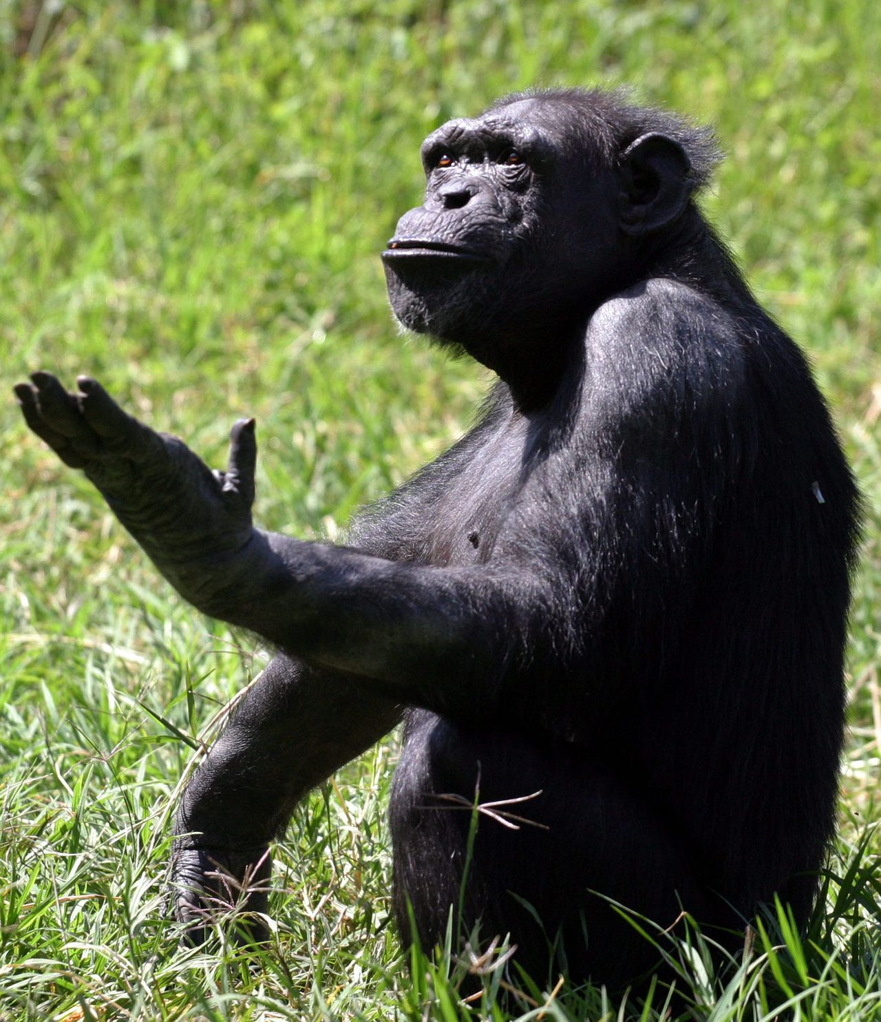 De Zambiaanse chimp Toto vraagt om voedsel. Als chimpansees communiceren is hun linker hersenhelft actief, net als bij mensen. reuters Toto, a 29 year-old chimpanzee, begs for food at Chimfunshi Wildlife Orphanage in Chingola, Zambia April 11, 2005. Toto was rescued from a Circus in Chile in 2003 and moved to Chimfunshi Orphanage in central Zambia, which is a non-profit refuge that cares for a wide variety of sick, wounded or unwanted animals - but the primary residents are more than 100 orphaned chimpanzees. REUTERS/Salim Henry SH/RSS/KI