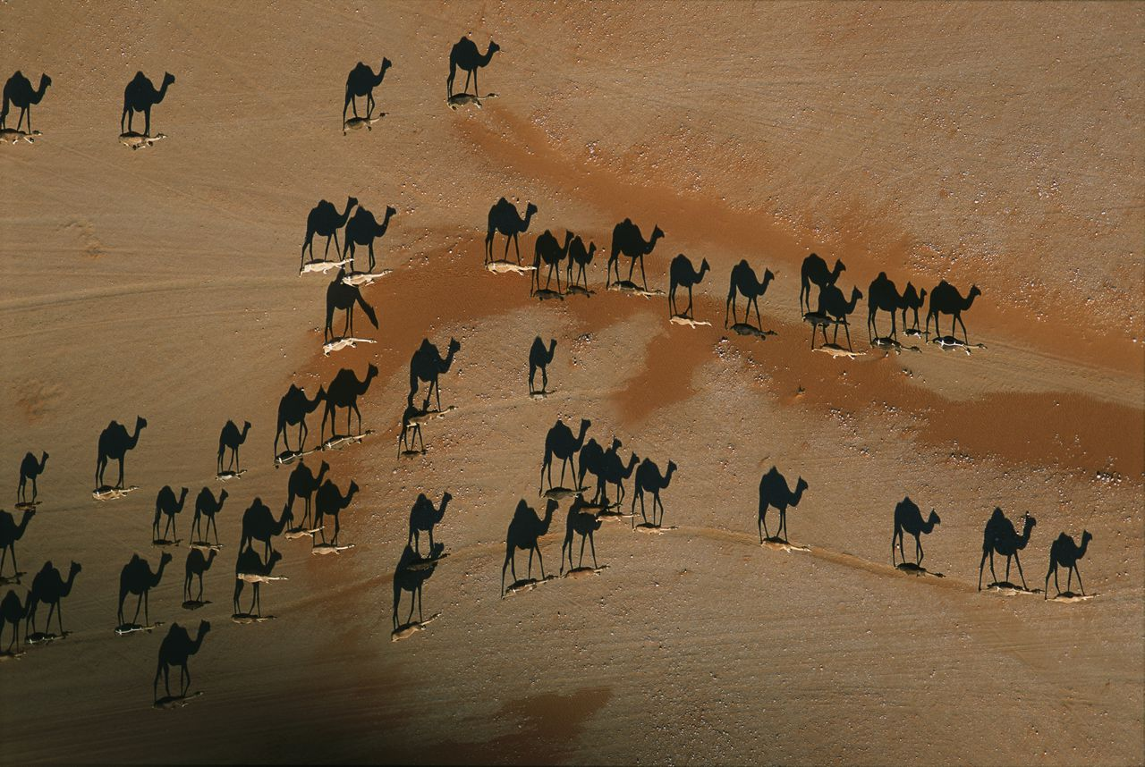 01 Feb 2004, Oman --- Vertical view of a herd of camels on their way to graze across the sandy gravels of the Empty Quarter near Wadi Mitan in western Oman. --- Image by © George Steinmetz/Corbis