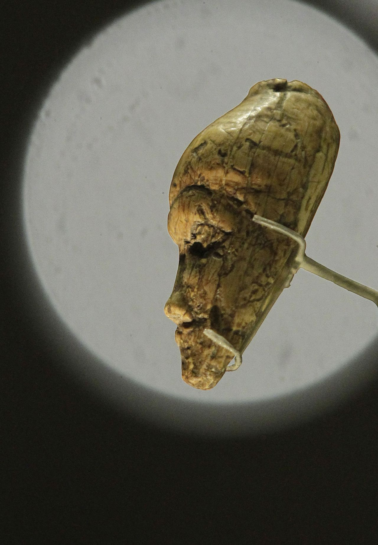 An oldest known portrait of a woman sculptured from mammoth ivory dates at least 27,000 old, discovered at Dolni Vestonice, Moravia, Czech Republic is seen on display in an exhibition 'Ice Age Art : arrival of the modern mind' at the British Museum in London, Tuesday, Feb. 5, 2013. The sculpture The exhibition present masterpieces create from the last Ice Age between 40,000 and 10,000 years ago, drawn from across Europe, by artists with modern minds and presented alongside modern works to illustrate the fundamental human desire to communicate and make art as a way of understanding ourselves and our place in the world. (AP Photo/Sang Tan)