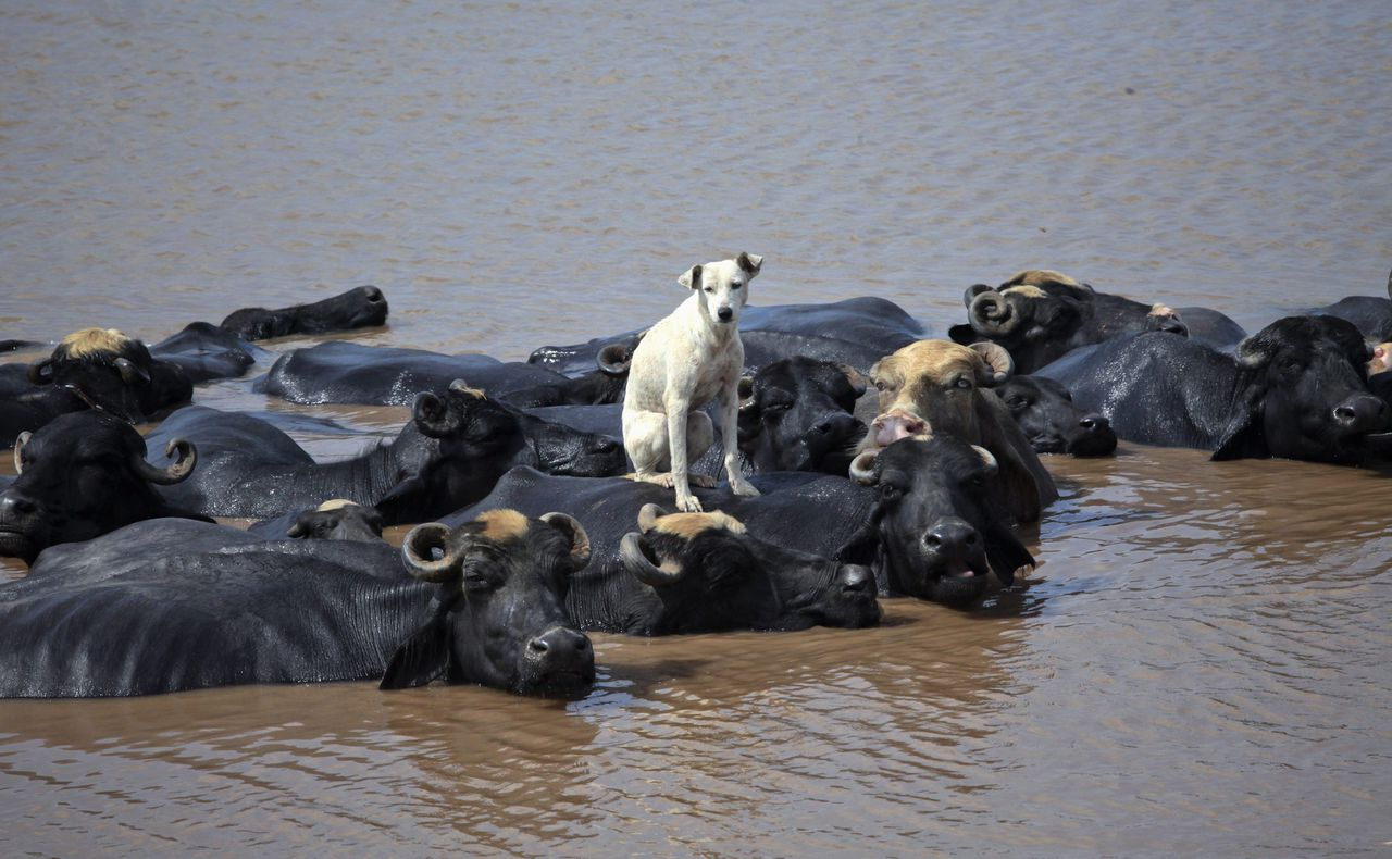 A dog sits on a buffalo who is cooling off in the Ravi River in Lahore on August 28, 2012. REUTERS/Mohsin Raza (PAKISTAN - Tags: ANIMALS SOCIETY)