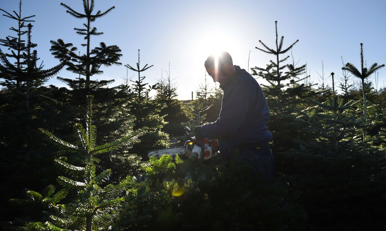 employee of Clayton Fold Christmas Tree Farm cuts Norway Spruce and Nordmann Fir trees as they are prepared for sale during the Christmas period on his farm in the Peak District National Park in Cheshire, north west England, on December 3, 2014. AFP PHOTO / OLI SCARFF