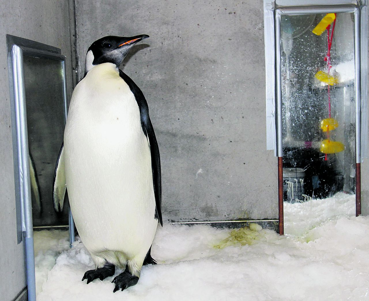 """'Uitstekend ambassadeur'. Foto AP In this Aug. 28, 2011 photo released by China's Xinhua News Agency, emperor penguin """"Happy Feet"""" is seen in his room at Wellington Zoo's hospital, New Zealand. The emperor penguin has been booked onto a research vessel scheduled to leave the country Aug. 29. (AP Photo/Xinhua, Liu Jieqiu) NO SALES"""
