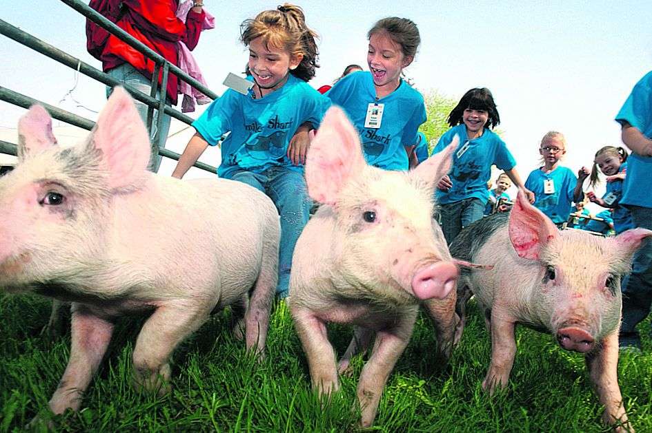 Students from Nicklin Learning Center in Piqua, Ohio participate in the pig scramble Friday May 13, 2005 during Ag Day which was put on by the Miami East High School FFA Club at the Miami County Fairgrounds in Troy, Ohio. The purpose of Ag Day is to teach children about farming, nutrition and where their food comes from.