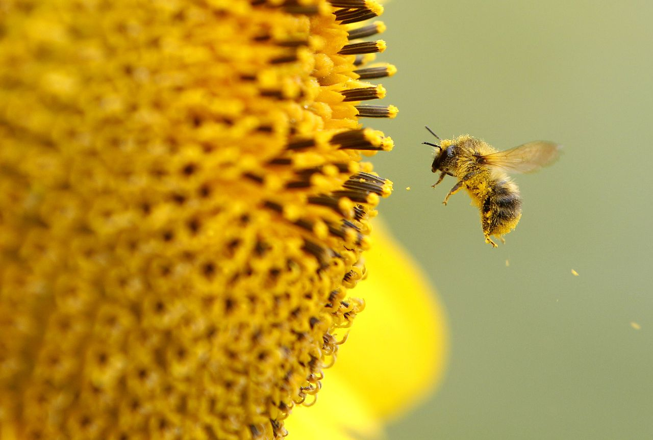 A bee collects pollen from a sunflower on September 6, 2012 in Neufeld, western Germany. Meteorologists forecast rising tempertures up to 27 degreec Celsius and sunshine for the upcoming weekend. AFP PHOTO / ROLAND WEIHRAUCH GERMANY OUT