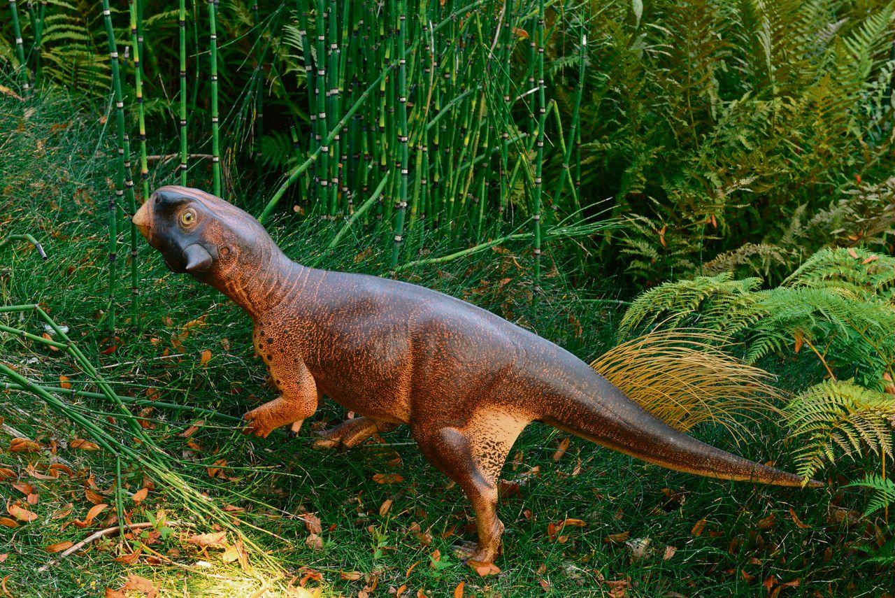 Reconstructie van Psittacosaurus. Het dier leefde waarschijnlijk in het bos, afgaand op de combinatie van een donkere rug met een lichte buik. Onder: fossiel van Psittacosaurus.