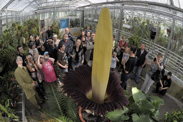 """Visitors look at the """"Arum Titan"""", the biggest flower in the world, as it blossoms at the Botanical Garden in Basel, on April 23, 2011. AFP PHOTO / SEBASTIEN BOZON"""