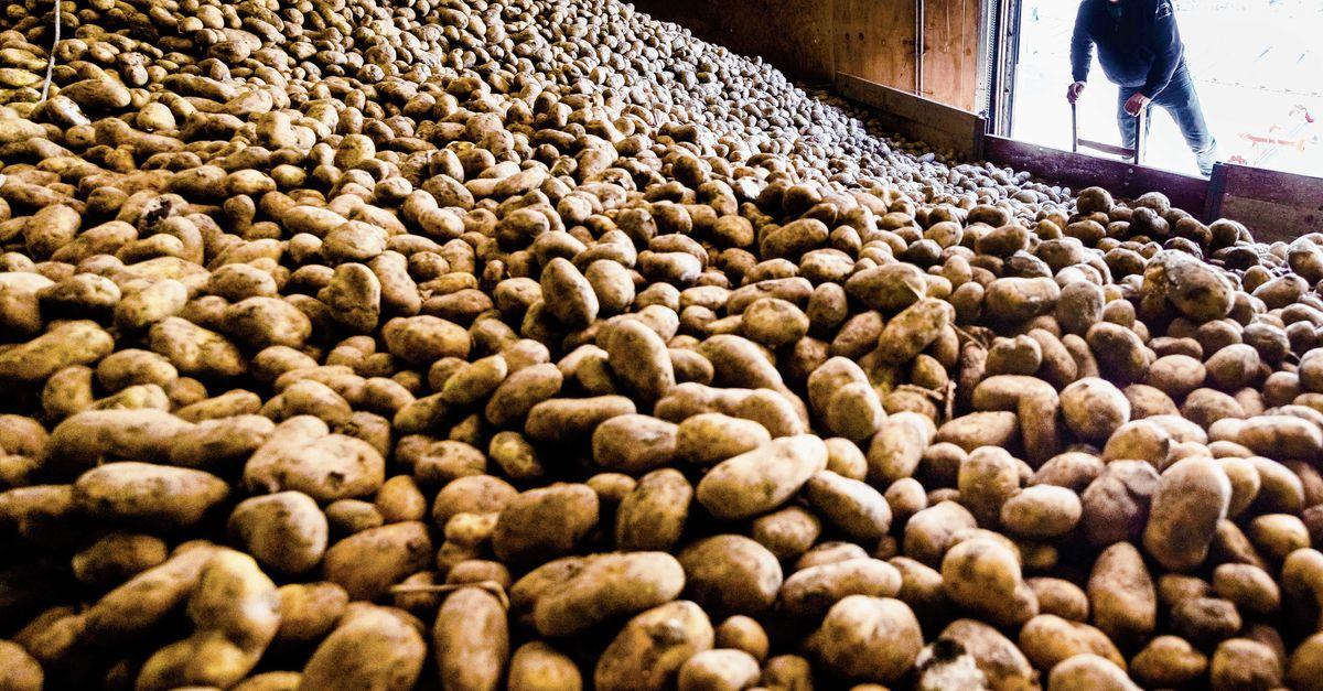 Een miljard kilo frietaardappelen: niemand wil ze meer hebben