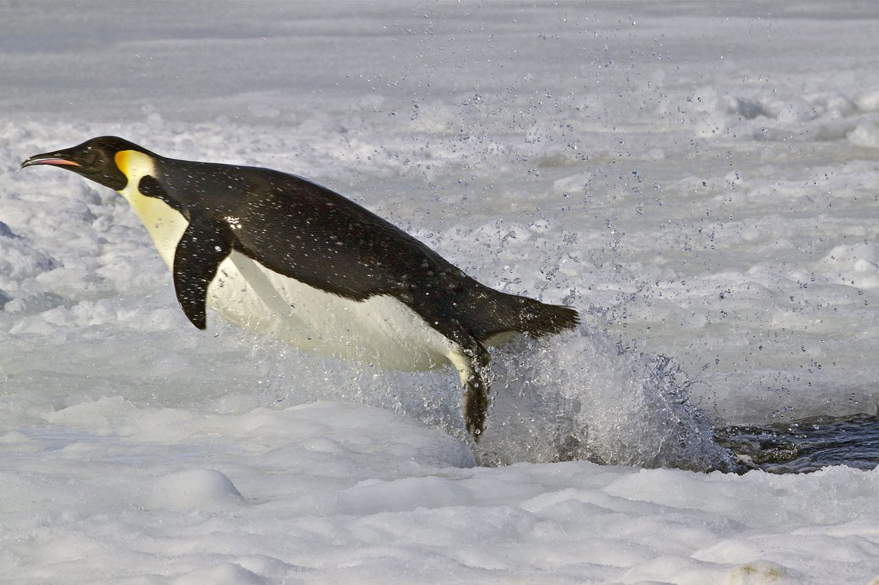 Programme Name: Frozen Planet - TX: 16/11/2011 - Episode: Frozen Planet 4 Autumn (No. 4) - Embargoed for publication until: 18/10/2011 - Picture Shows: Emperor penguins jumping out of sea as it returns to the Antarctic continent to breed - this enables Emperor penguins to get a head start with their breeding as soon as the sun returns in September. - (C) Chadden Hunter - Photographer: Chadden Hunter