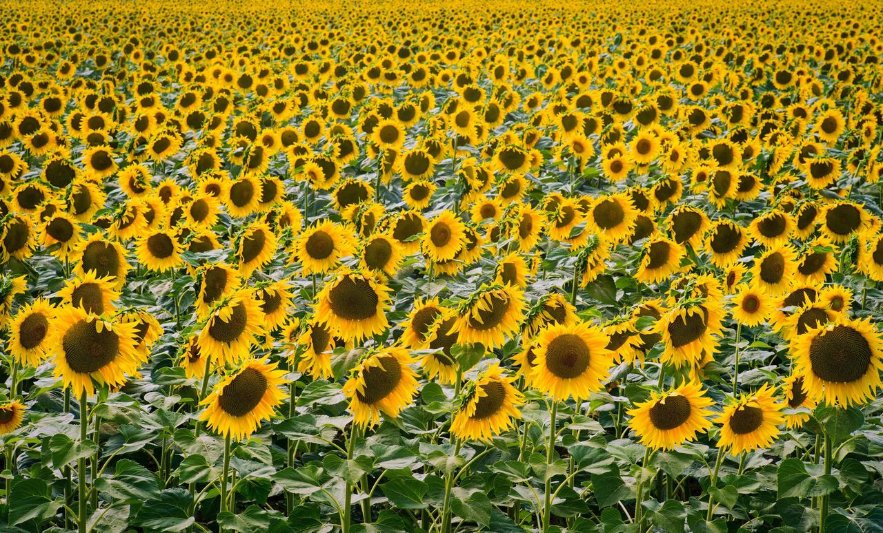 De volwassen zonnebloem staat op het oosten, blijkt uit onderzoek.