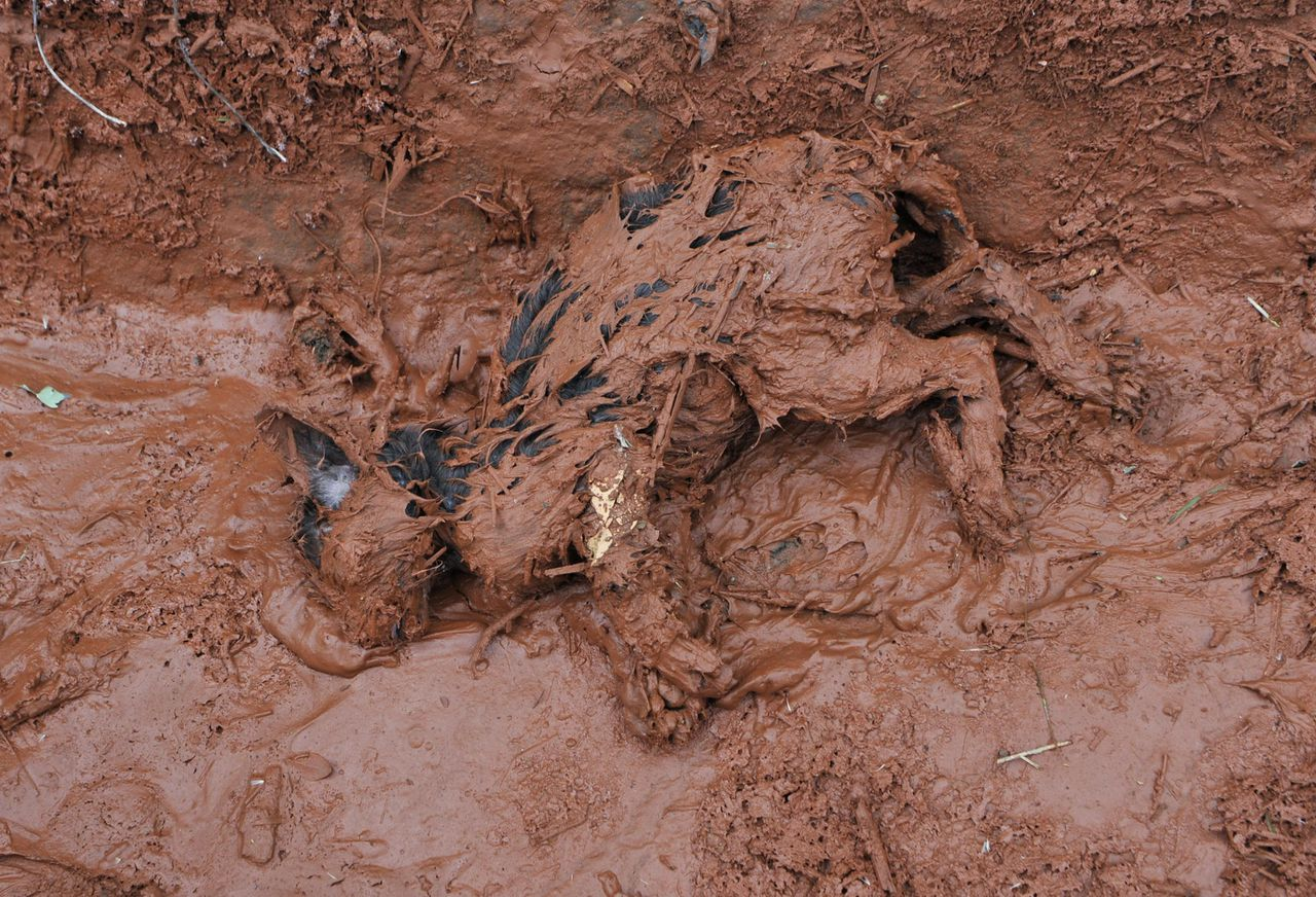 Een dood konijn ligt in de rode modder bij het Hongaarse dorp Kolontár, waar maandag een dam om een reservoir waarin een aluminiumfabriek productieafval opslaat, doorbrak. Foto AP An animal lies dead in the toxic mud, which flooded the village of Kolontar, Hungary, Tuesday, Oct. 5, 2010. Monday's flooding was caused by the rupture of a red sludge reservoir at an alumina plant in western Hungary and has affected seven towns near Ajkai, 100 miles (160 kilometers) southwest of Budapest. The flood of toxic mud killed killed a yet unknown number of people, injured more than one hundred, with some people still missing. (AP Photo/Bela Szandelszky)