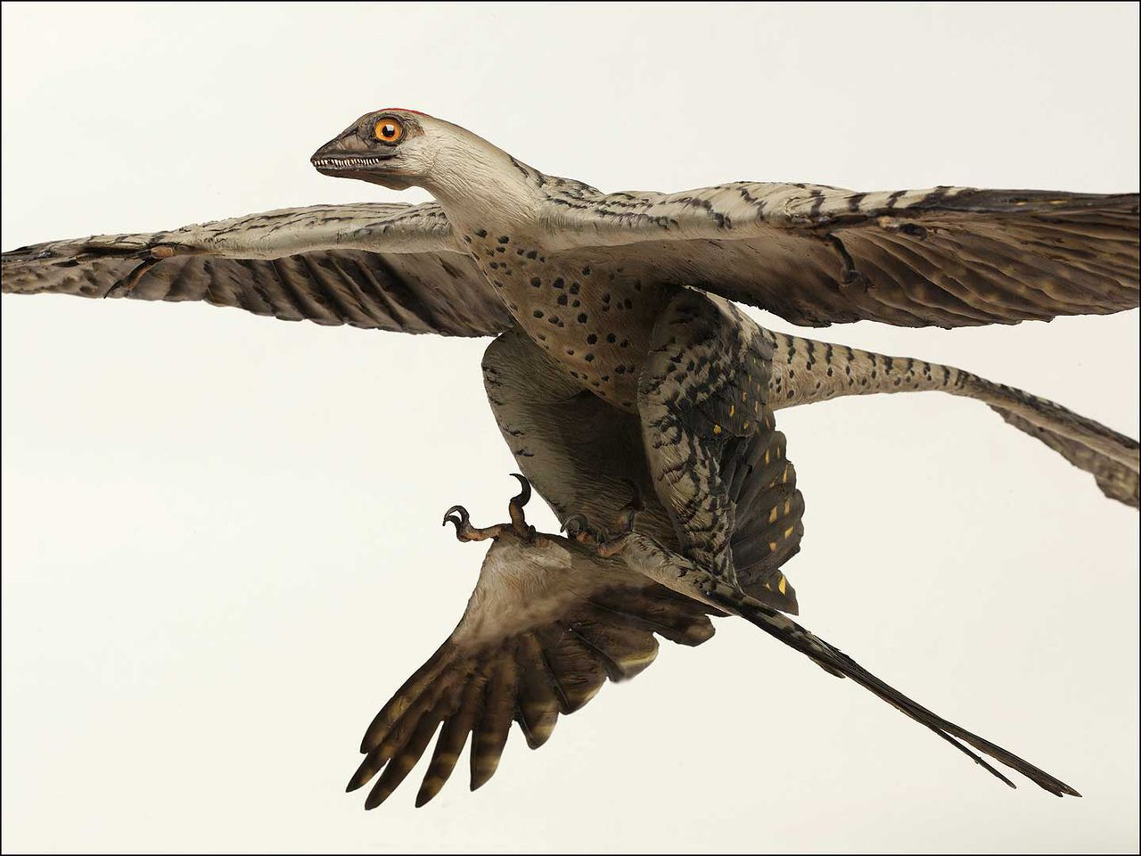Reconstructie van Microraptor gui. Illustratie Houston museum of Natural Science Reconstructie van Microraptor gui. (Illustratie Houston museum of Natural Science)