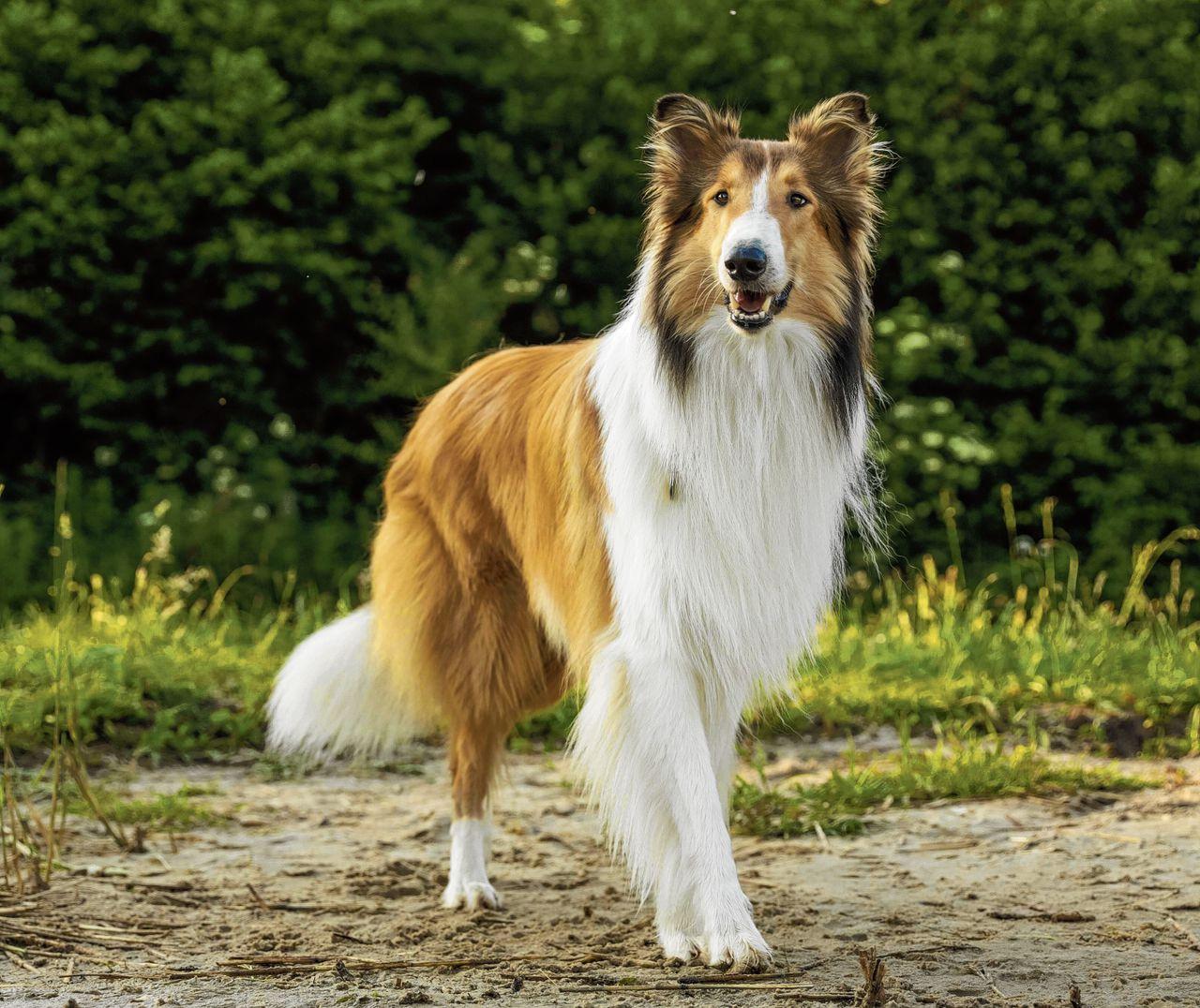 Lassie is nog altijd ontroerend.