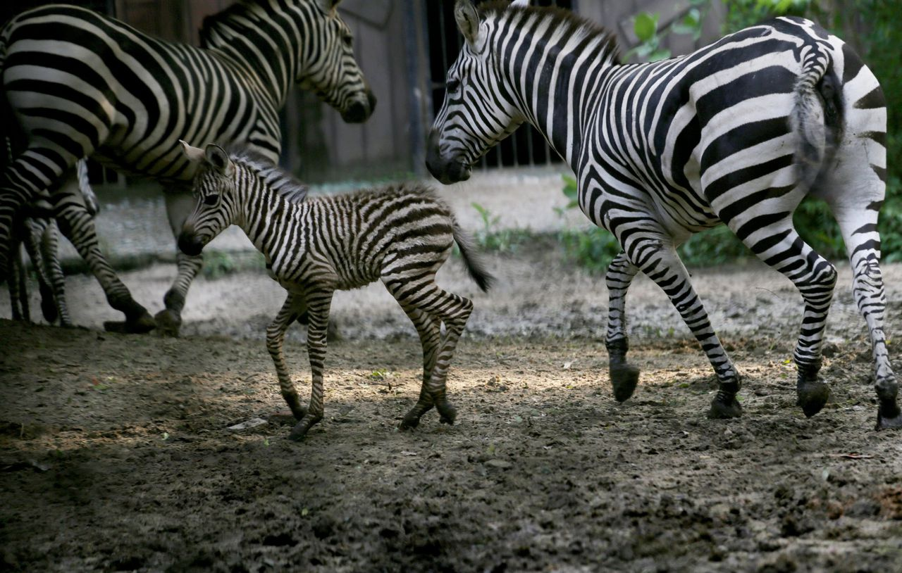 Zebra's in een dierentuin in Calcutta, India.