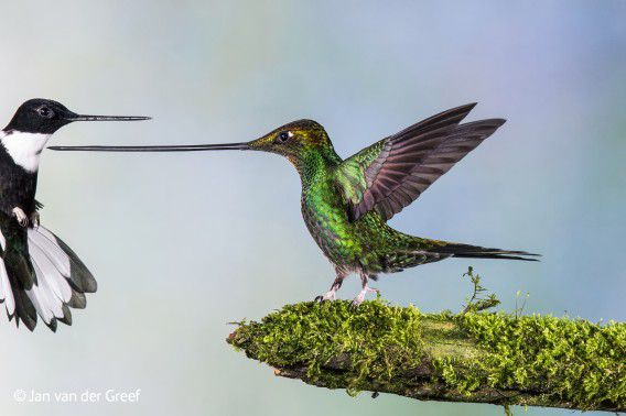Deze foto van een zwaardkolibri leverde de Nederlandse fotograaf Jan van der Greef een finaleplek op in de categorie Birds bij de natuurfotowedstrijd Wildlife Photographer of the Year 2014.
