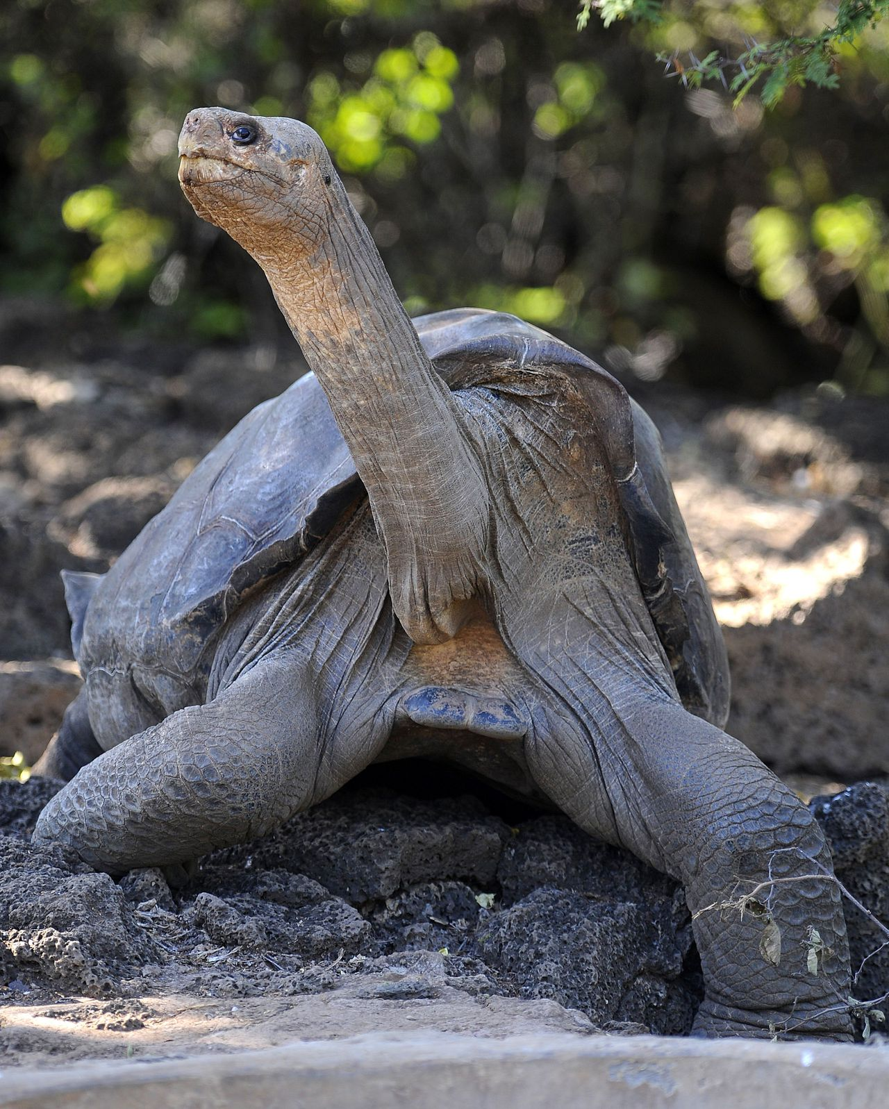 Lonesome George, the last known individual of the Pinta Island Tortoise, subspecies Geochelone nigra abingdoni, is pictured at Galapagos National Park's breeding center in Puerto Ayora, Santa Cruz island, Galapagos on March 18, 2009. Lonesome George died on June 24, 2012 at the age of 100 aproximately, making the Pinta Island Tortoise extict. AFP PHOTO/Rodrigo BUENDIA