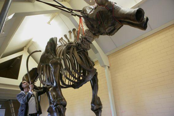 Foto: VidiPhoto GAANDEREN – Bart Schenning uit Gaanderen heeft een compleet mammoetskelet in zijn schuur bij hem thuis gemaakt en daar uitgestald. Het komt zelden voor dat particulieren een mammoetskelet bezitten. Naast die van Schenning staan er nog zes skeletten in Nederland, meestal in musea. Het skelet van Schenning is overigens nog niet af. De kaken en de slagtanden moeten er nog aan.