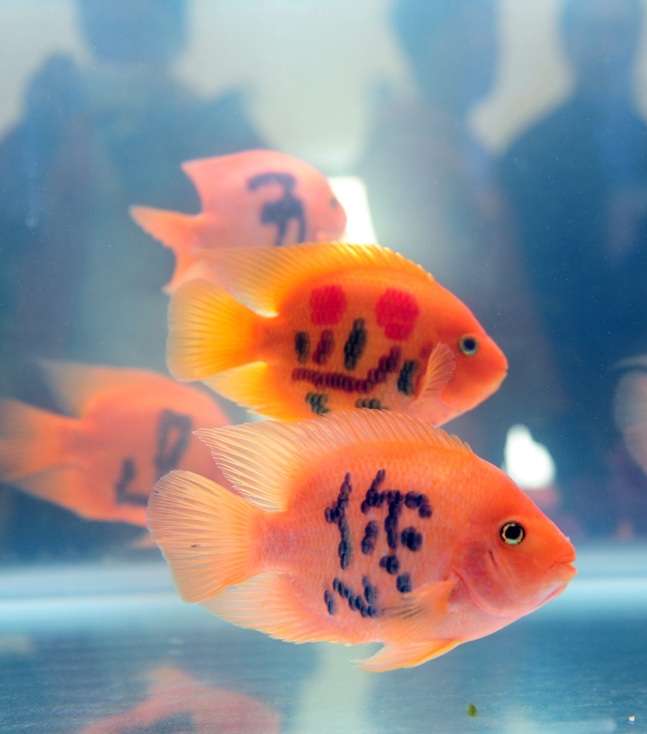 Tattooed goldfish are on display during the International Tropical Agricultural Winter Fair in Haikou, south Chinas Hainan province, 12 December 2011. The Chinese just cant seem to get enough when it comes to tampering with goldfish. Who can forget the live goldfish keychains last spring or the goldfish whisperers synchronized fish performance which can only be described as magnetic? Now these sprite little swimmers, viewed as tokens of wealth in Chinese culture, are being tattooed with symbols said to bestow fortune upon their masters. Although fish-tatooing has technically been around since 2005, its popularity has spiked dramatically these past two years. The fish currently in question were on display on December 14 at the International Tropical Agricultural Winter Fair held in Haikou, Hainan province. Each fish bore an inked character which, when read all together, said Wuzhi Mountain Welcomes You. And as with any tattoo the process of fish-inking is none too gentle. Its the result of injecting a special medication which takes six months to form. Or if you simply dont have the time, its possible to use lasers. Not surprisingly, similar to previous instances of goldfish meddling, marking fish has sparked an outrage among animal rights activists, who label the practice inhumane and unnatural.