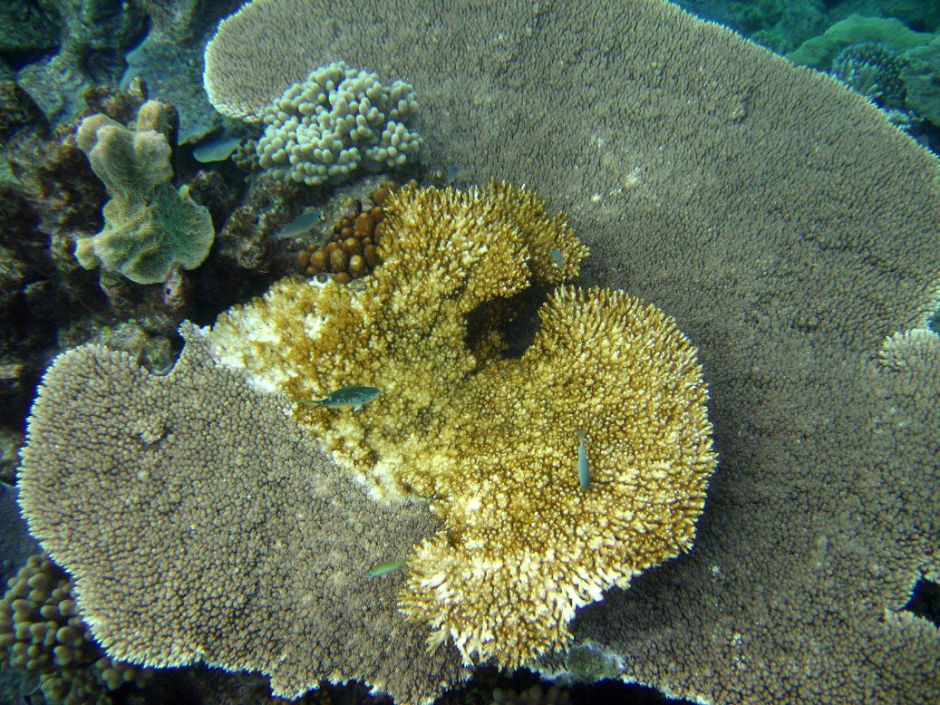 """FILE - This undated file photo provided by the Australian Institute of Marine Science shows white coral syndrome in Great Barrier Reef, Australia. Ocean acidification has emerged as one of the biggest threats to coral reefs across the world, acting as the """"osteoporosis of the sea"""" and threatening everything from food security to tourism to livelihoods, the head of a U.S. scientific agency said Monday, July 9, 2012. (AP Photo/Australian Institute of Marine Science, File)"""