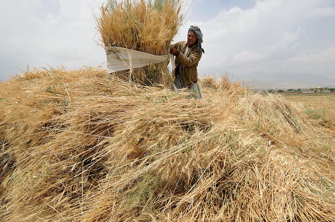 Een Afghaanse boer oogst zijn tarwe even buiten Kabul. Er wordt nog altijd niet genoeg verbouwd om in de binnenlandse behoefte te voorzien. Foto AFP An Afghan farmer harvests wheat in a field on the outskirts of Kabul on June 30, 2008. Afghanistan's drought-plagued agriculture sector, which has been neglected in an internationally aided development drive in place since the extremist Taliban regime was removed in 2001, is unable to meet the country's wheat needs. AFP PHOTO/SHAH Marai