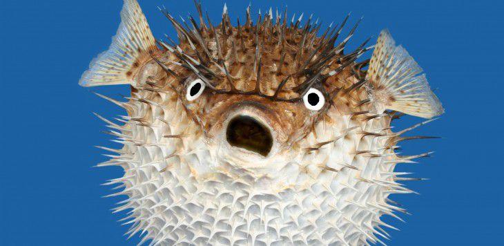 Een fugu.