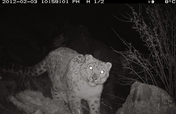 In this Friday, Feb. 3, 2012 photo provided by the World Wildlife Fund (WWF), is a rare sighting of a snow leopard, known as Pantheria Uncia,as it is photographed by an infrared remote camera in the Kargil district of India's Jammu and Kashmir. One of the most endangered of the large cats, the snow leopard was historically found from Afghanistan in the west to India's Arunachal Pradesh in the east and as far north as Mongolia (AP Photo/World Wildlife Fund) EDITORIAL USE ONLY