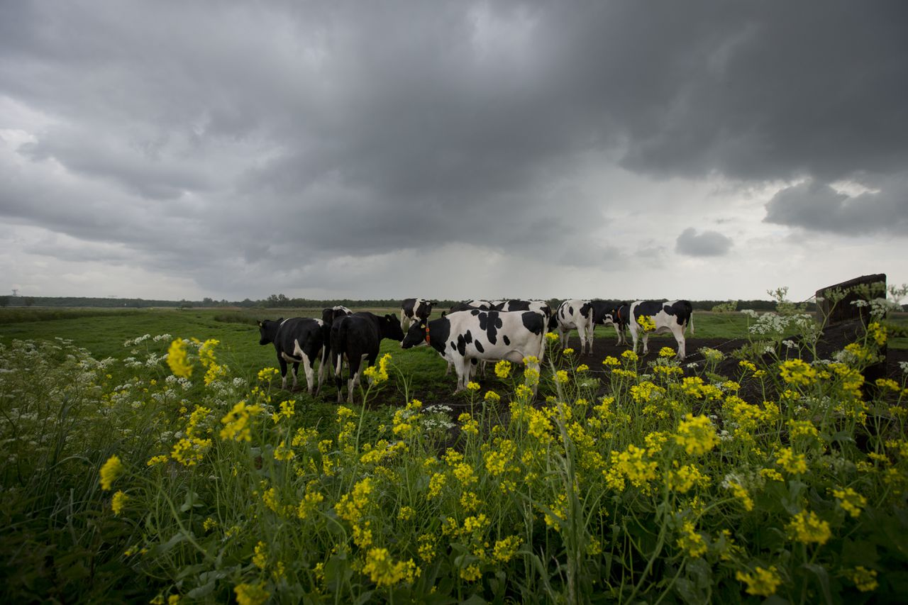 Rain clouds blow over a pasture with cows on the edge of Naardermeer nature reserve in Muiderberg, near Amsterdam, Netherlands, Wednesday, May 7, 2014. A light breeze brings rapidly changing spring weather with sun and rain, and temperatures around 16 degrees Celsius, or 61 Fahrenheit. (AP Photo/Peter Dejong)