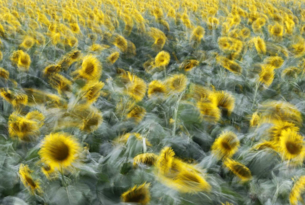 Wind blows through a field of sunflowers in Nogi town, north of Tokyo July 26, 2010. About 180,000 sunflowers were in full bloom during the annual summer festival. Picture is taken with slow shutter speed. REUTERS/Yuriko Nakao (JAPAN - Tags: ENVIRONMENT)