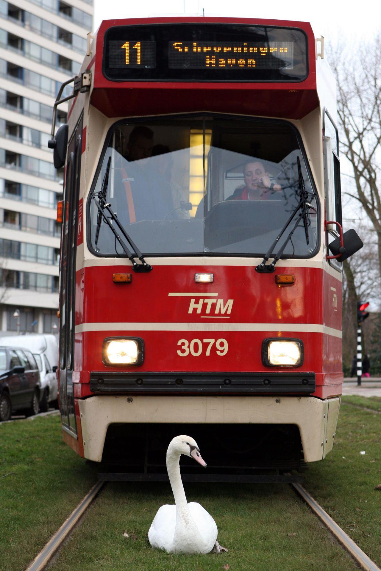 Den Haag, op de route van lijn 11 Den Haag. De trampassagiers moesten even geduld hebben. De trambaan van lijn 11 naar Scheveningen werd geblokkeerd door een zwaan. Volgens de fotograaf dachten omstanders aanvankelijk dat het dier gewond was, maar na een tijdje liep de zwaan weer verder. Toen kon de bestuurder van de tram de rit vervolgen. De meldkamer van de Haagse trammaatschappij HTM laat weten dat gisteren geen melding is binnengekomen van een grote vertraging op het traject van lijn 11. Foto Jurriaan Brobbel/WFA WFA67T:ZWAAN VS TRAM:DEN HAAG;05MAR2009-Trampassagiers van lijn 11 naar Scheveningen Haven moesten vanmiddag een hoop geduld hebben. De trambaan werd geblokkeerd door een zwaan die van geen wijken wou weten. Aanvankelijk dachten omstanders dat het dier gewond was maar later liep de zwaan gewoon verder, precies in het midden van de baan. Wellicht was de zwaan suicidaal, of had ie gewoon zin om te pesten. WFA/jb/str.Jurriaan Brobbel