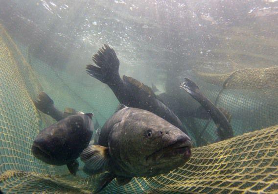 Ombervissen zwemmen in een net bij Mallorca, Spanje.