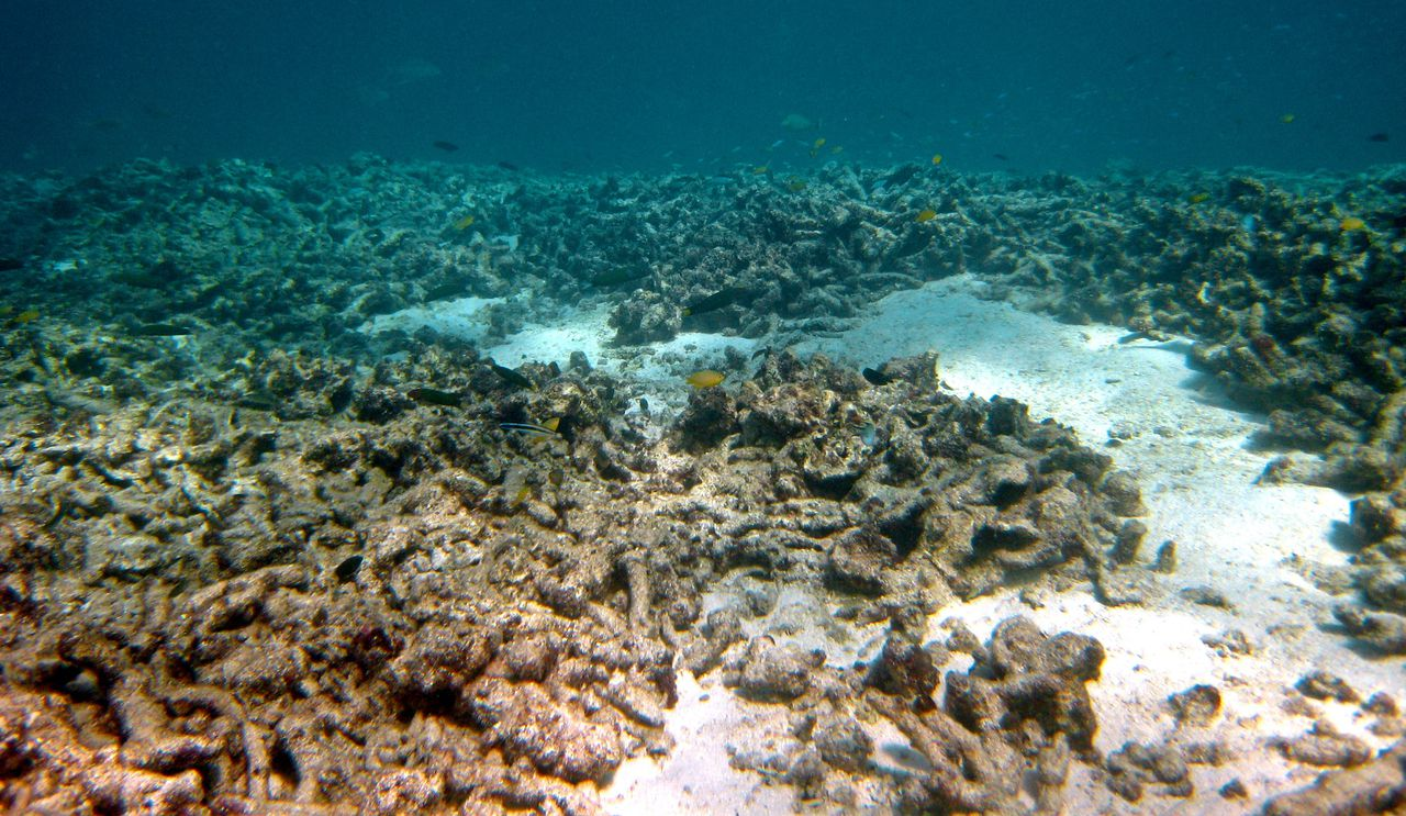 """An undated handout photo received from Australian Institute of Marine Science Long-Term Monitoring Team on October 2, 2012 shows crown-of-thorns starfish damage on a coral reef at Australia's Great Barrier Reef which has lost more than half its coral cover in the past 27 years due to storms, poisonous starfish and bleaching linked to climate change, a study has found. The study by researchers from the Australian Institute of Marine Sciences (AIMS) and the University of Wollongong warned that coral cover on the heritage-listed reef -- the world's largest -- could halve again by 2022 if trends continued. Intense tropical cyclones were responsible for much of the damage, accounting for 48 percent, with outbreaks of the coral-feeding crown-of-thorns starfish linked to 42 percent. AFP PHOTO --EDITORS NOTE--- RESTRICTED TO EDITORIAL USE - MANDATORY CREDIT """"AFP PHOTO / AUSTRALIAN INSTITUTE OF MARINE SCIENCE LONG-TERM MONITORING TEAM"""" - NO MARKETING NO ADVERTISING CAMPAIGNS - DISTRIBUTED AS A SERVICE TO CLIENTS"""