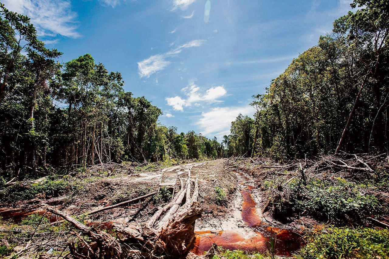 In het woud op Sumatra (Indonesië) is een weg aangelegd voor een palmolieplantage.