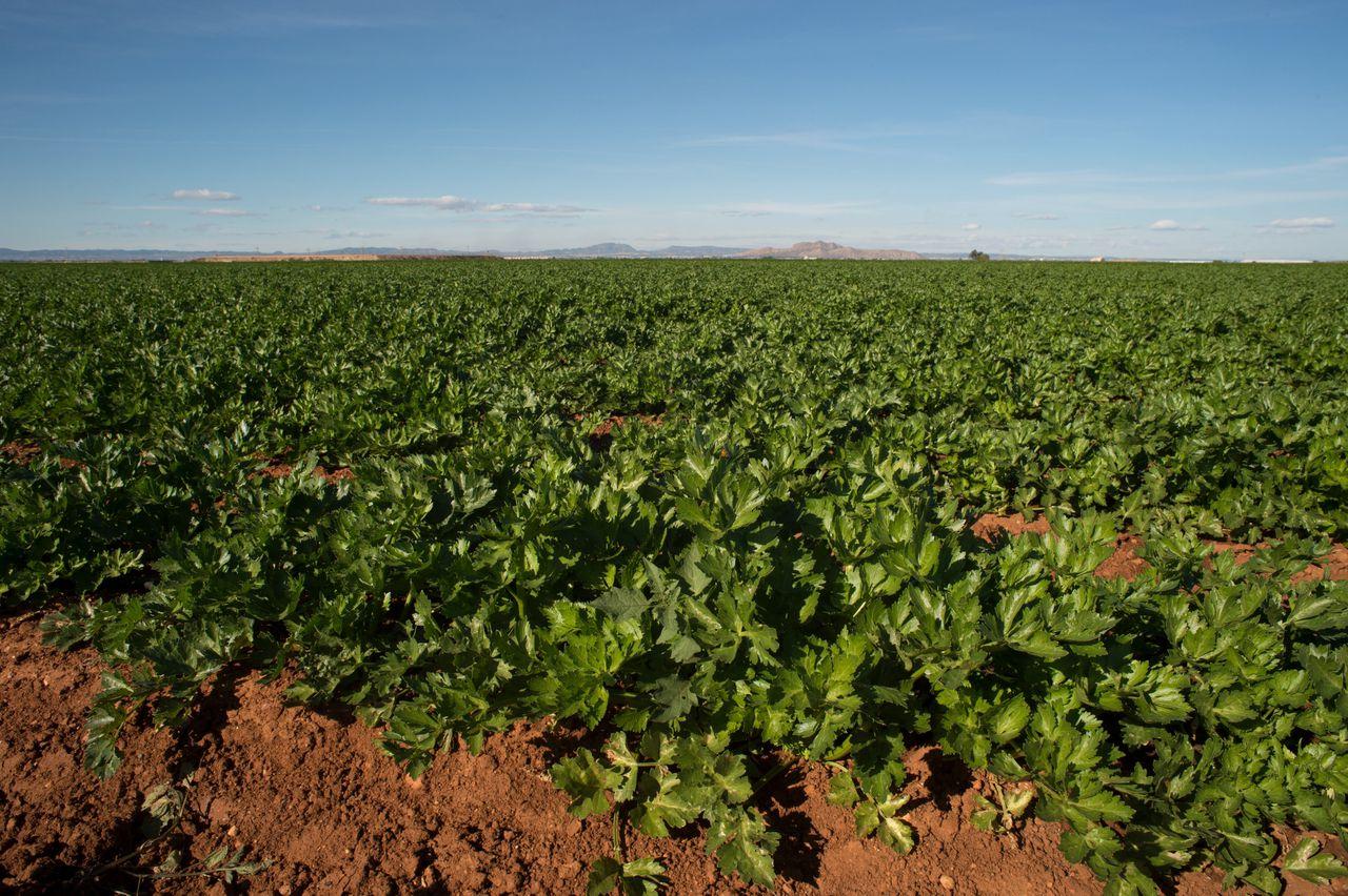 De regio Murcia levert in de winter tal van groenten voor de Nederlandse markt: ijsbergsla, bloemkool, spinazie en asperges.