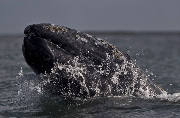 A gray whale surfaces at the Ojo de Liebre lagoon in Guerrero Negro, Mexico, Monday Feb. 21, 2011. The coastal lagoon is located in the middle of the Baja California peninsula and is one of three primary breeding and calving grounds for the gray whale. As of Feb. 14, 2011, 1,406 gray whales between adults and calves were registered at Ojo de Liebre lagoon, according to Mexico's Commission on Natural Protected Areas. (AP Photo/Guillermo Arias)
